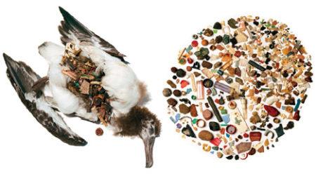 海鳥の胃からでてきた大量のプラごみ