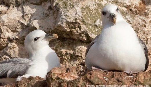海鳥のヒナはプラスチックごみを知らずに誤食している