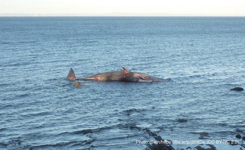 座礁して死んでいるクジラ