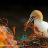 漁具で巣作りするカツオドリ