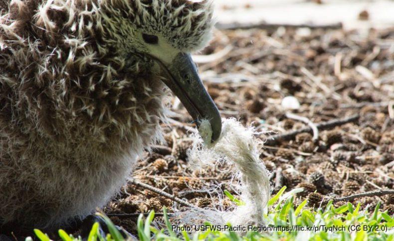 海洋プラスチックごみを食べるアホウドリ
