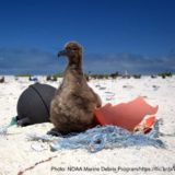 アホウドリの雛と海洋ごみ