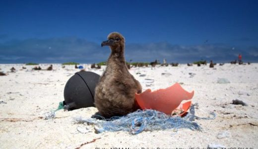『磯の匂い』がするプラスチックごみに騙されるアホウドリ