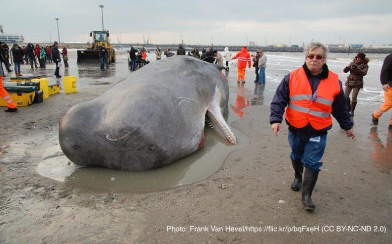 マッコウクジラの死骸