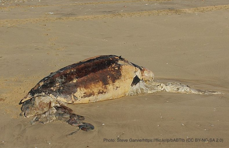 死んだウミガメ