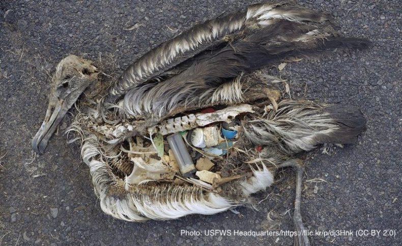 海洋プラスチックごみを食べて死んでいる海鳥