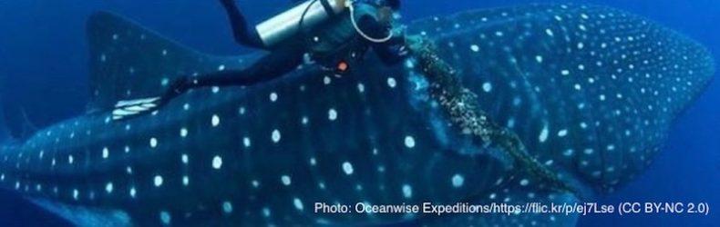 漁具の絡まるジンベイザメ