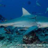 プラスチックごみが体に食い込むサメ