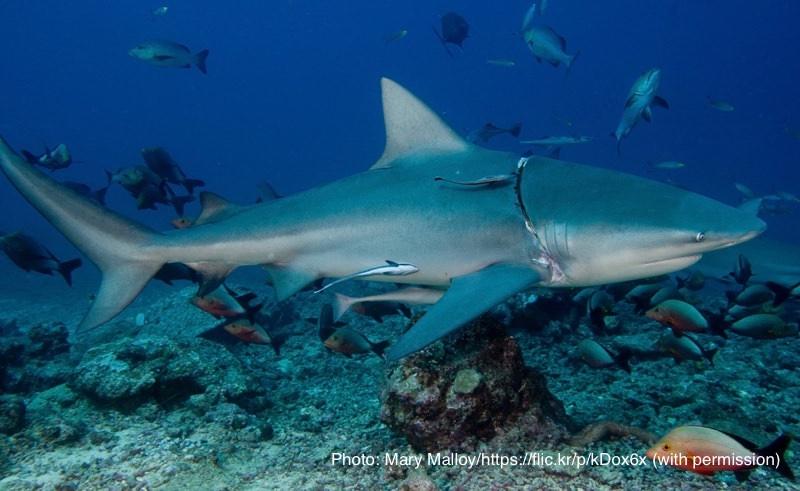 動態にプラスチックが食い込んでいるサメ