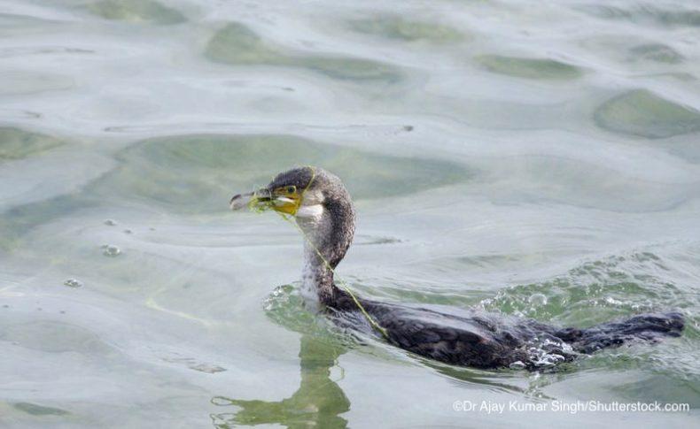 釣り糸が絡まった海鳥
