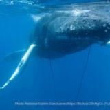 漁具をまとわるクジラ