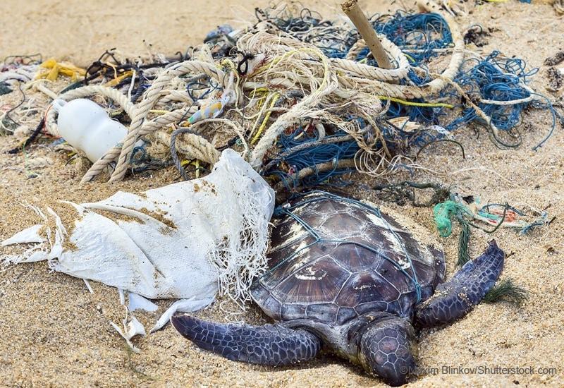 漁網に絡まり死んでいるウミガメ