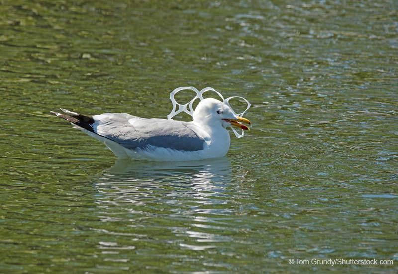 6パックリングを口にくわえる海鳥