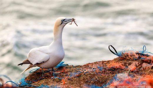求愛のために海プラスチックごみに絡まる海鳥