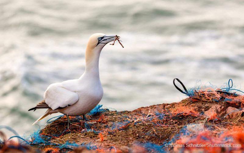 漁網を口にくわえるカツオドリ