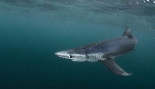 プラスチックごみに殺されるサメー捨てられた漁網
