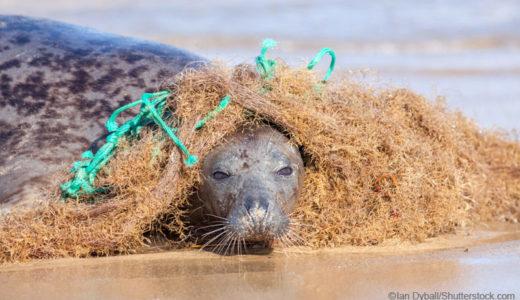 海洋プラスチックごみに絡まるアザラシ