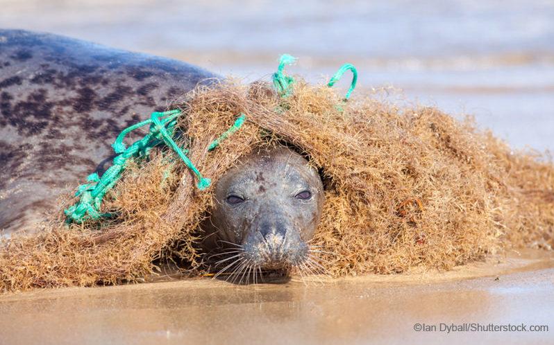 漁網に絡まるアザラシ