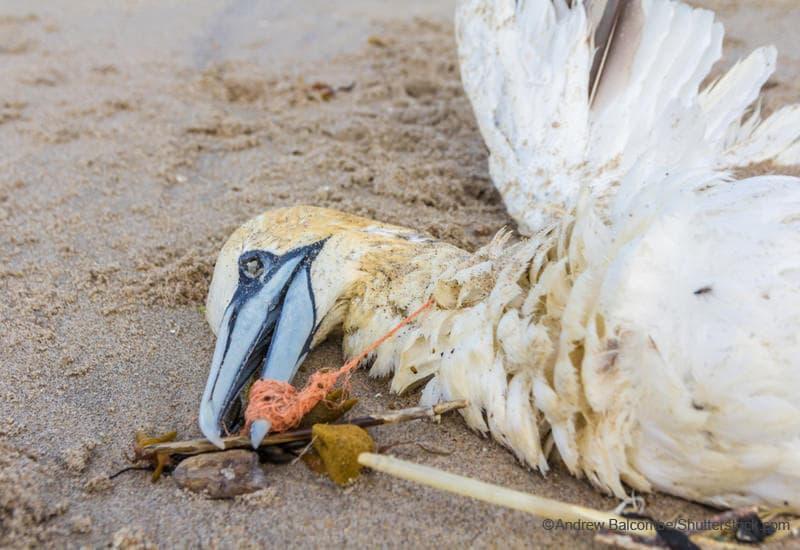 口に漁網の一部を引っ掛けたまま死んでいる海鳥