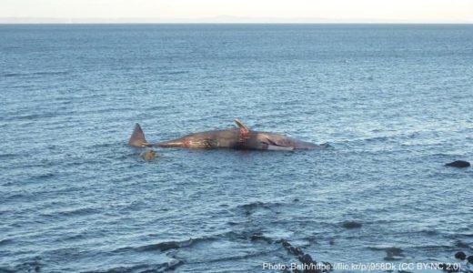 漂着したクジラの胃袋から大量のプラごみ インドネシア