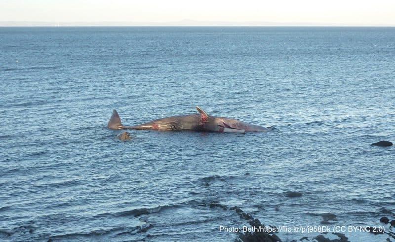漂着したクジラの死骸