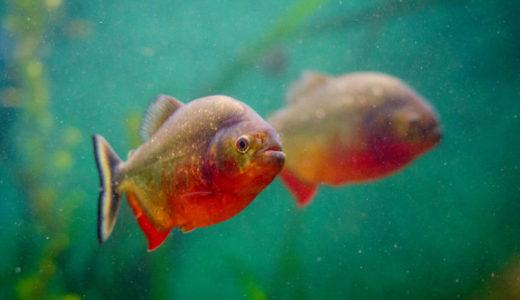 アマゾン川の淡水魚 調査した80%以上の魚からプラスチック