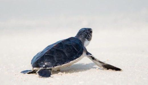 プラスチックで苦しむ幼いウミガメたち