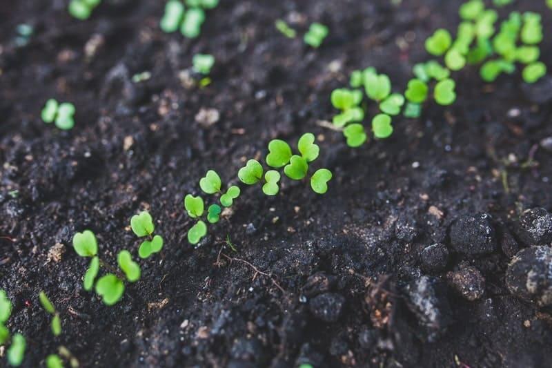 畑に一列に生えた芽