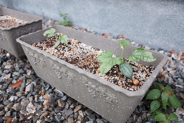 プランターに植え替えたヘチマの苗