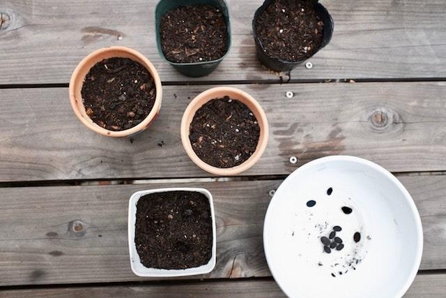 ヘチマのタネを植えた苗ポット