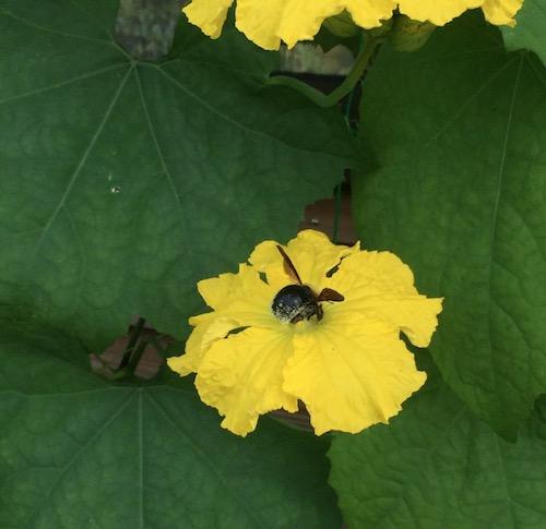 ヘチマの花に頭を突っ込んでいる何かの虫