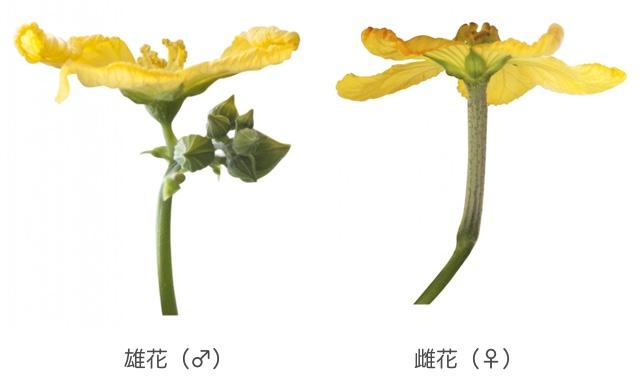 ヘチマの雄花と雌花