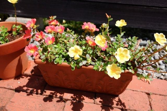 テラコッタのプランターにカラフルな花を植えた様子