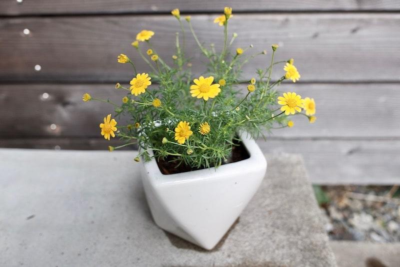 白い陶器(釉薬あり)の鉢に植えた黄色い小さな花