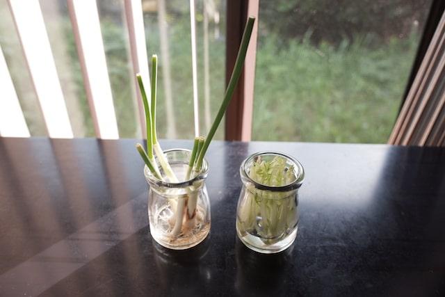 水を張ったガラス瓶でネギと水菜をリボーンベジタブルしている様子
