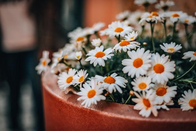 白い花がいっぱいのテラコッタの鉢